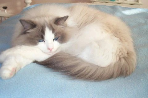 Nolte, a Blue Bi-color, owned by Lynn F