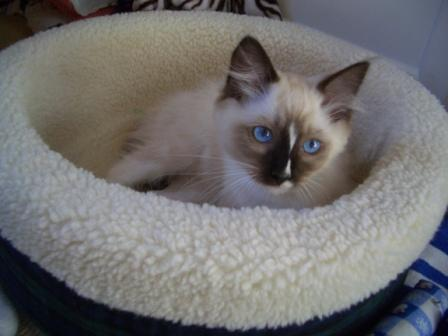 Ragdoll Kitten Adoption What S The Right Age To Bring