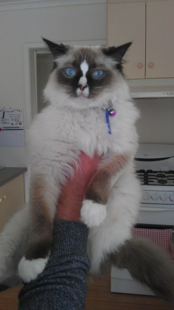 """""""This is my beautiful girl lilith a seal mitted with her perfect hourglass blaze. Owned by Jess and sam"""""""