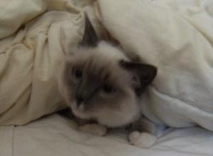 Buster Ragdoll of the Week on Floppycats