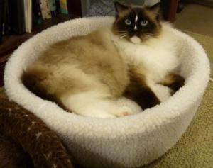 Charlie in the AlphaPooch Siesta Cat Bed Natural
