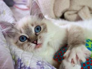 Illaria Rose - Ragdoll Kitten of the Month