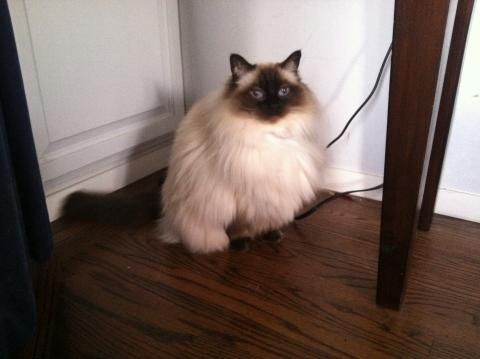 Ragdoll Rescue Orinda, California - Tiger Lily 8 Years old