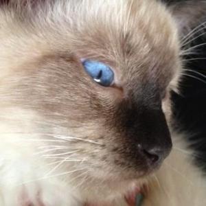 Hendrix - Ragdoll Kitten of the Month3