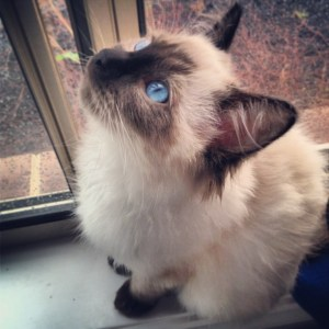 Hendrix - Ragdoll Kitten of the Month7
