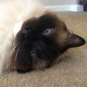 Boston - Ragdoll of the Week