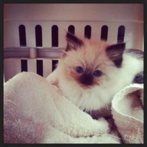 Mozart - Ragdoll Kitten of the Month