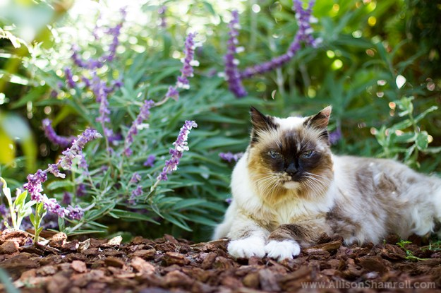 Kiva the Ragdoll ©Allison Shamrell Pet Photography