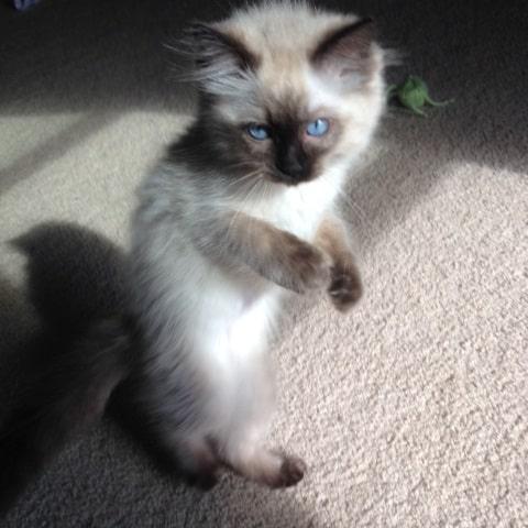 Sookie - Ragdoll Kitten of the Month3