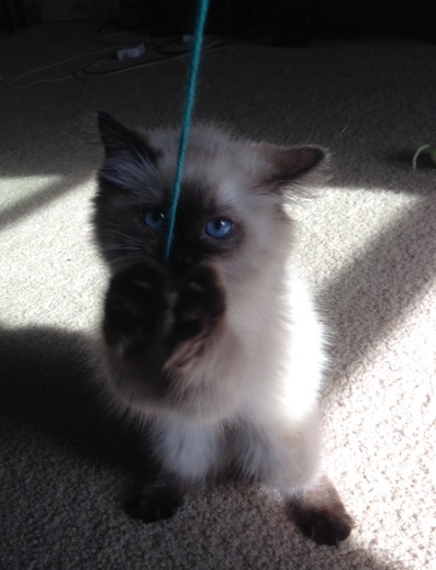 Sookie - Ragdoll Kitten of the Month5