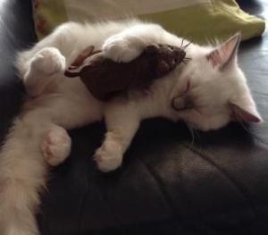 Hanibal - Ragdoll Kitten of the Month