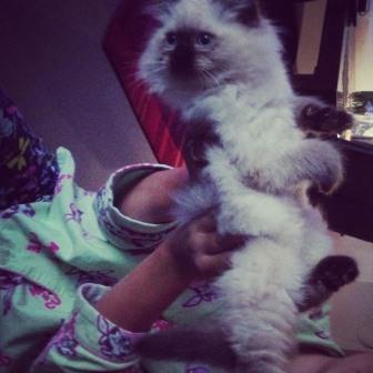 Valentino - Ragdoll Kitten of the Month