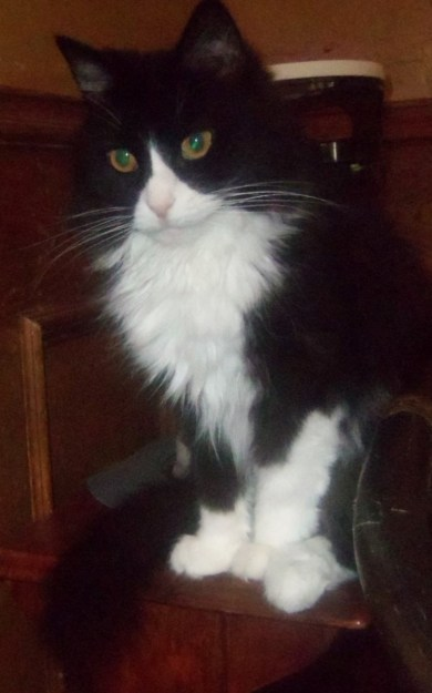 Velvet is an adorable 4-year-old Black and White Maine Coon mix, foster, who should be going home this week.