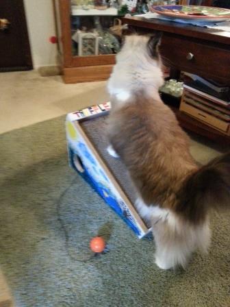 DIY Inclined Cardboard Cat Scratcher for Ragdoll Cat Truffles