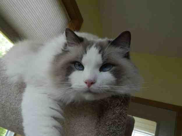 Dusty Blue Bicolor Ragdoll Cat