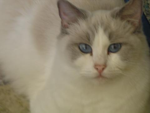 grey kitten green eyes