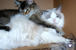 Joujou and Boogie _ Miss Boogie the Ragdoll