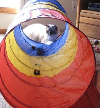 Ragdoll Cats in Cat Tunnel