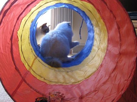 Ragdoll Cats in Cat Tunnel 3