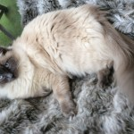 Help with Ragdoll Cat Lulu Moulting and Human Allergies