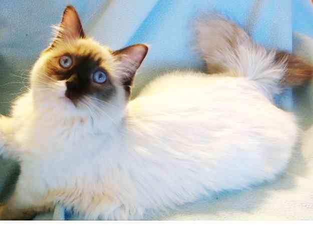 Zoe - Ragdoll Kitten of the Month 2