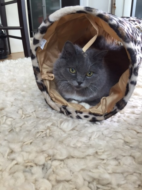 Luna - Ragdoll Kitten of the Month