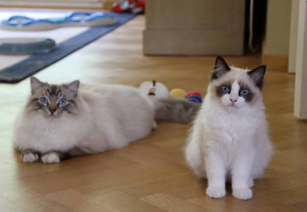 Flynn - Ragdoll of the Week otto and pasha