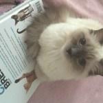 Kasya – Ragdoll Kitten of the Month