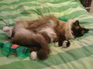 Ragdoll Cat Caymus