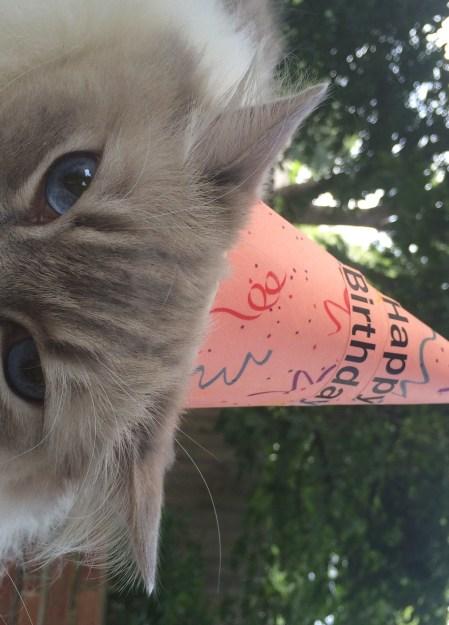 Ragdoll Cat Trigg Birthday Hat 2015