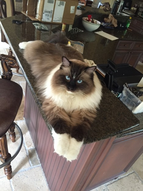 Bradley - Ragdoll of the Week  4