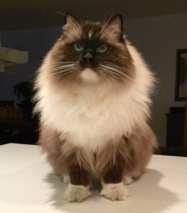 Bradley - Ragdoll of the Week  5