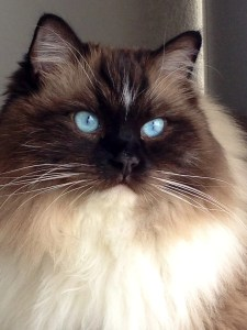 Bradley - Ragdoll of the Week 7
