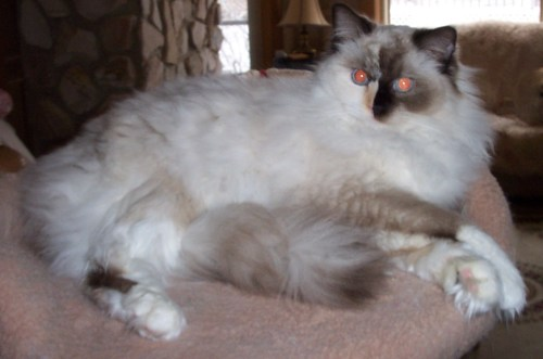 Gypsy - Ragdoll of the week 3