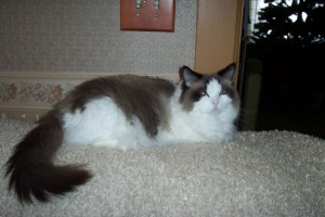 Gypsy - Ragdoll of the Week