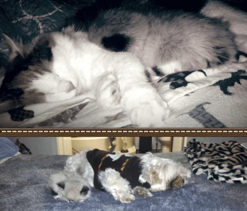 Apollo - Ragdoll Kitten of the Month 7