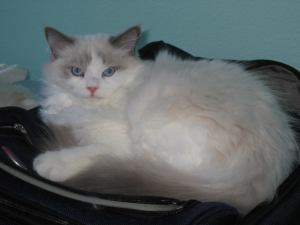 Stormy - Ragdoll of the Week