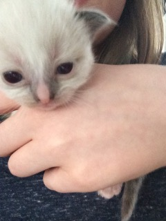 Finley Bean - Ragdoll Kitten of the Month