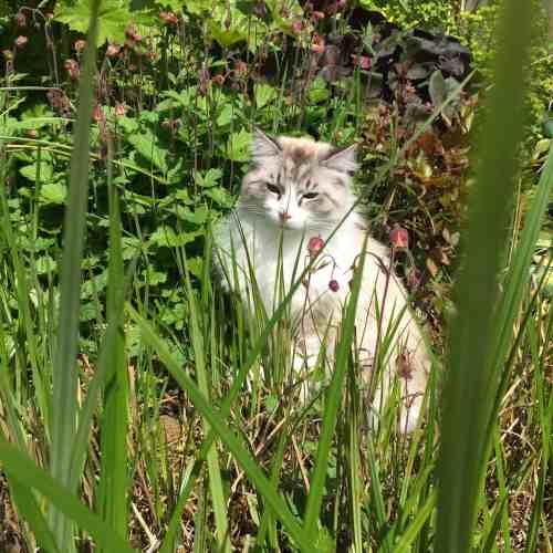 Casper Ragdoll of the Week Me Stalking frogs in my garden