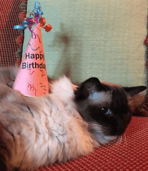 Caymus Birthday 2016 12 year old Ragdoll Cat 4