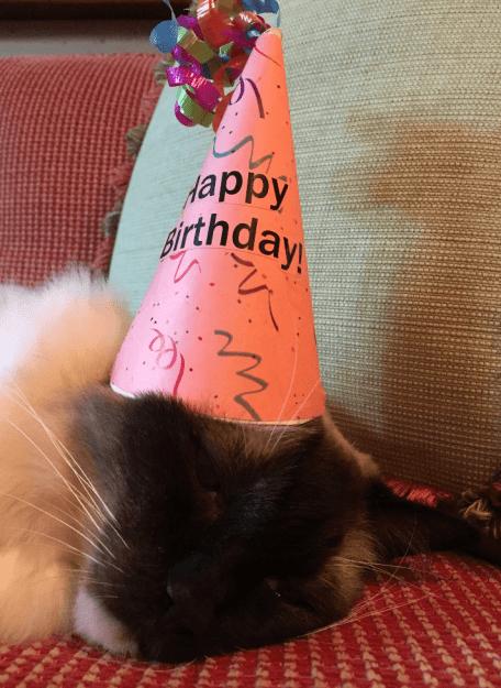 Caymus Birthday 2016 12 year old Ragdoll Cat 5