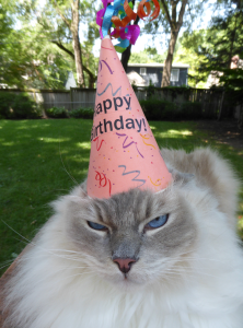 Ragdoll Cat Trigg Turns 7 Years Old 3