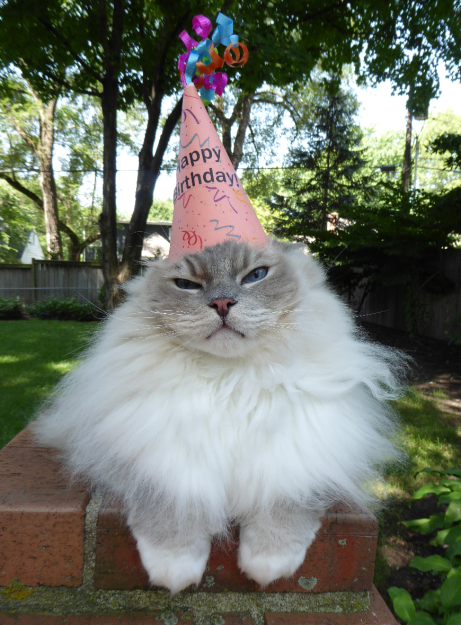 Ragdoll Cat Trigg Turns 7 Years Old