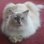 KitTen – Ragdoll of the Week