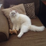 Zichron Tziyon – Ragdoll of the Week