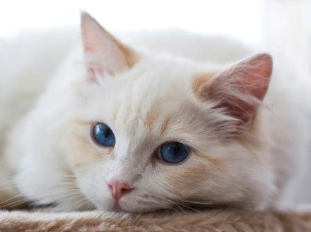 Gizmo - a Cream Colored Bicolor Ragdoll