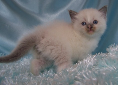 Phantasy Cats Blue Mitted Male Kitten