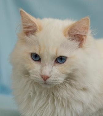 Fred, a Cream Bi-Color Ragdoll