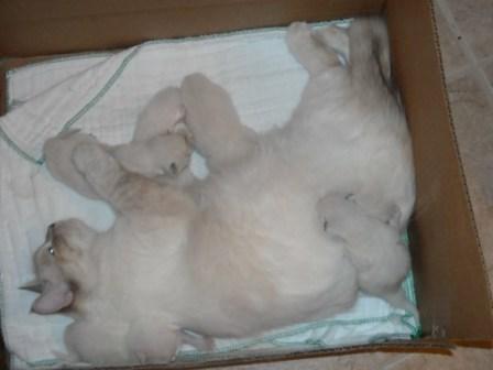 Nenes Ragdolls Kittens