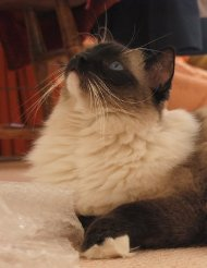 Caymus, a Seal Mitted Ragdoll, Looking Up